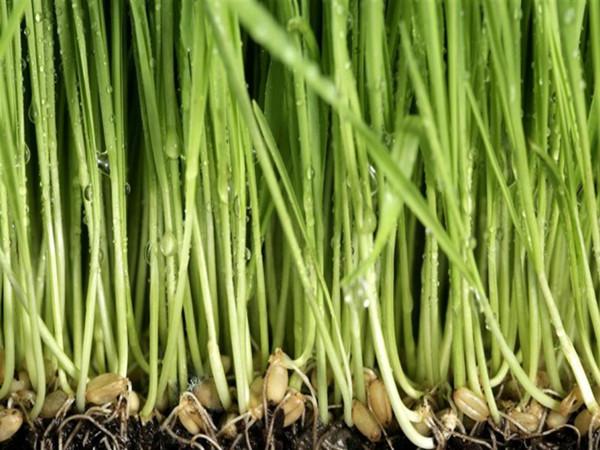 优质小麦种子厂家