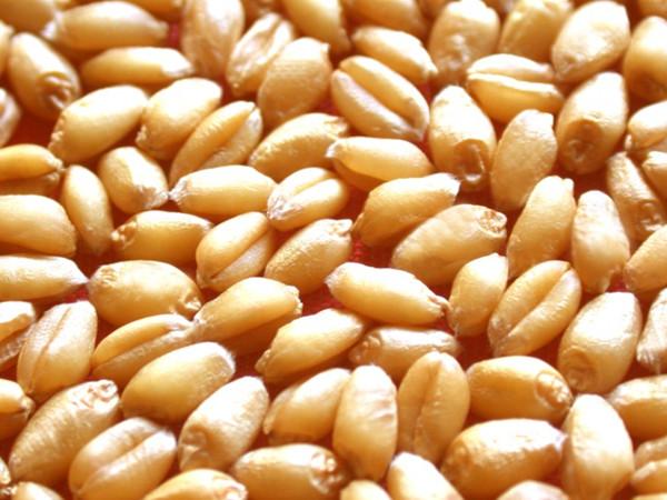 最新小麦种子